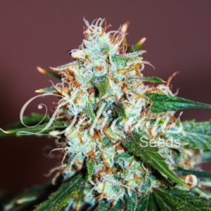 CRITICAL NEVILLE HAZE 2.0 (Delicious Seeds)