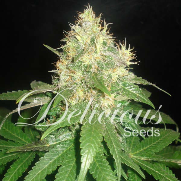 NORTHERN LIGHT BLUE (DELICIOUS SEEDS)