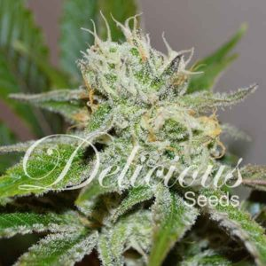 ORIGINAL JUAN HERER (Delicious Seeds)